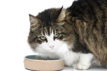 Comment choisir les croquettes de votre chat
